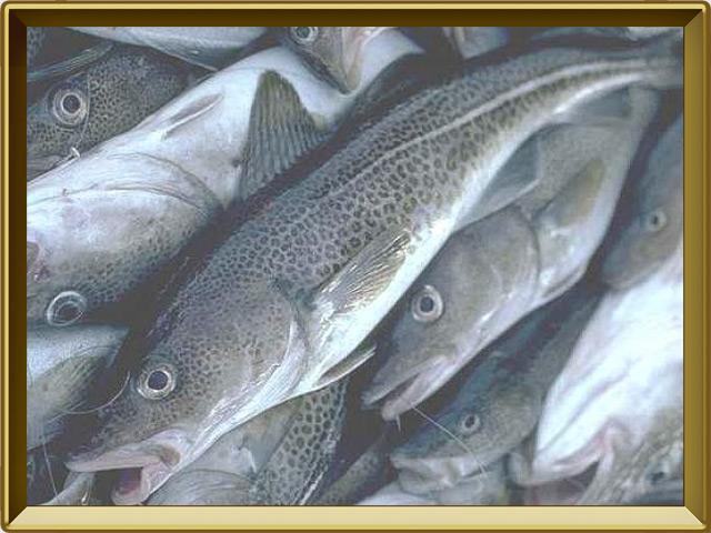 Треска — рыба, фото в рамке №3