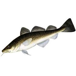 Треска — рыба, картинка цветная