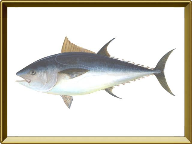 Тунец — рыба, фото в рамке №1