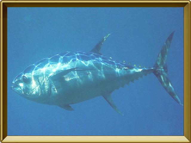 Тунец — рыба, фото в рамке №2