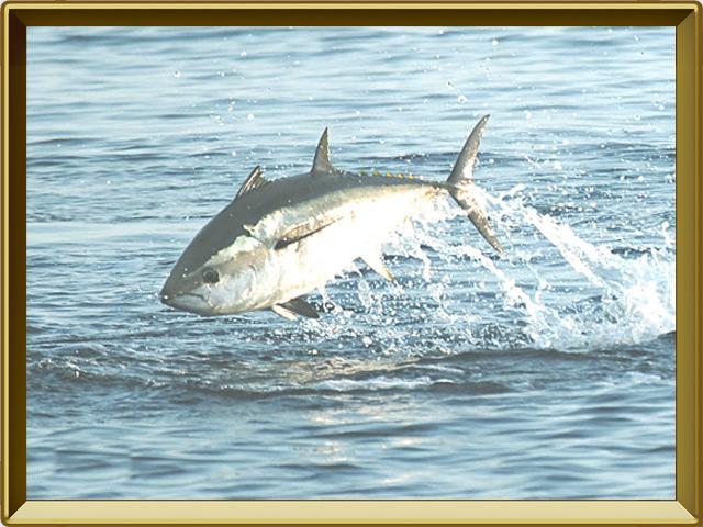 Тунец — рыба, фото в рамке №3