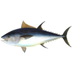 Тунец — рыба, картинка цветная