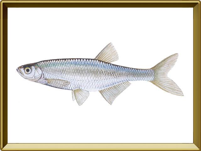 Уклейка — рыба, фото в рамке №1
