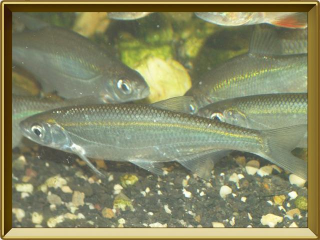 Уклейка — рыба, фото в рамке №2