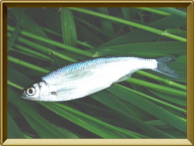 Уклейка — рыба, фото в рамке №3