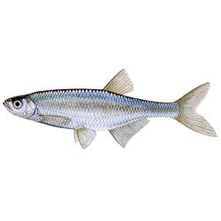 Уклейка — рыба, картинка цветная