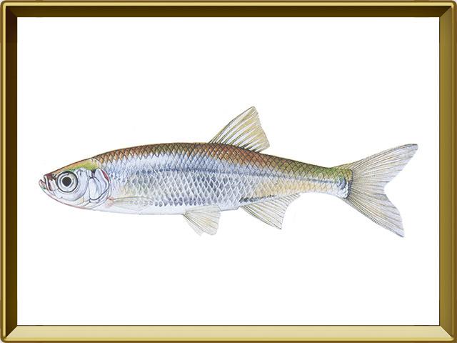 Верховка — рыба, фото в рамке №1