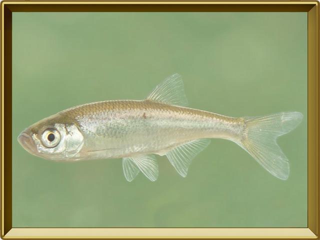Верховка — рыба, фото в рамке №2