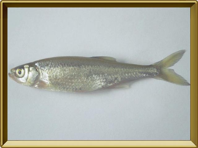 Верховка — рыба, фото в рамке №3