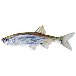 Верховка — рыба, картинка цветная