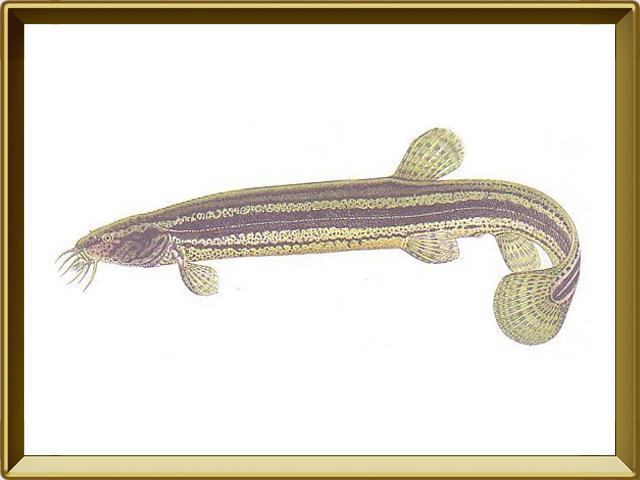 Вьюн — рыба, фото в рамке №1