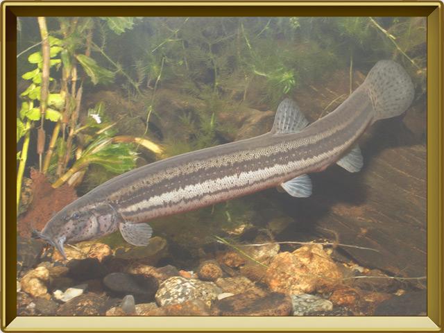 Вьюн — рыба, фото в рамке №2