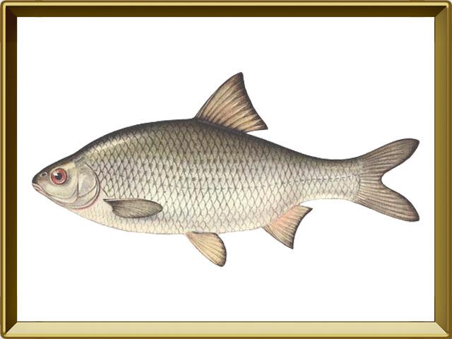 Вобла — рыба, фото в рамке №1