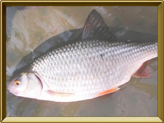 Вобла — рыба, фото в рамке №3
