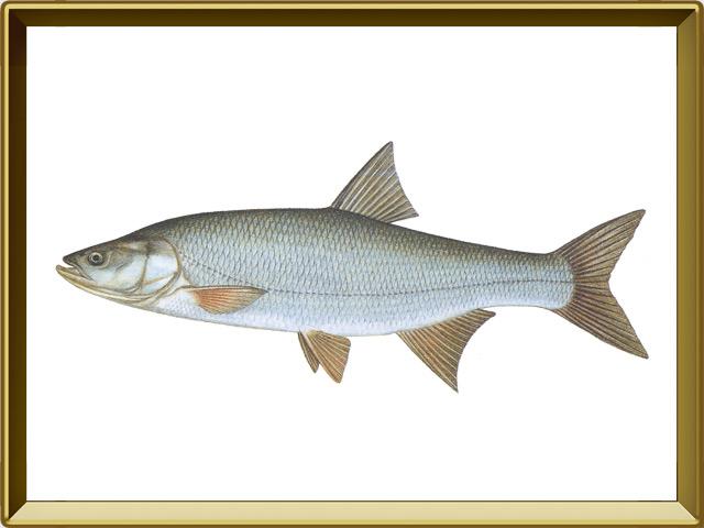 Жерех — рыба, фото в рамке №1