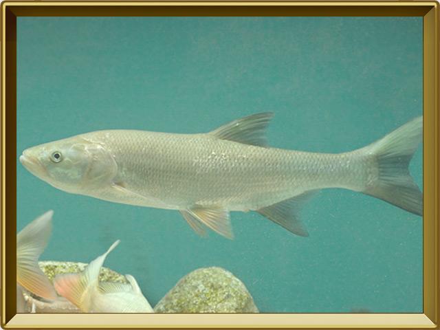 Жерех — рыба, фото в рамке №2