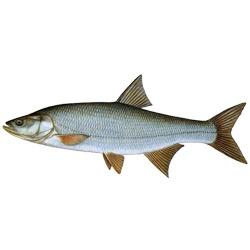 Жерех — рыба, картинка цветная