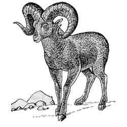 Архар — зверь, картинка чёрно-белая