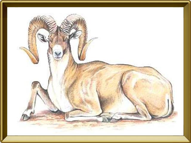 Архар — зверь, фото в рамке №1