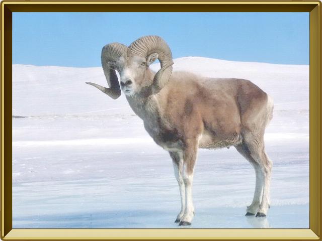 Архар — зверь, фото в рамке №2