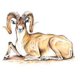 Архар — зверь, картинка цветная