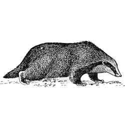 Барсук — зверь, картинка чёрно-белая