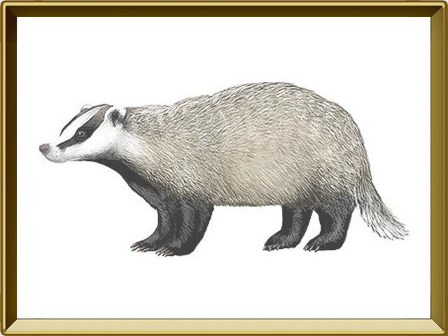 Барсук — зверь, фото в рамке №1