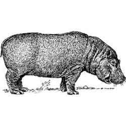 Бегемот — зверь, картинка чёрно-белая
