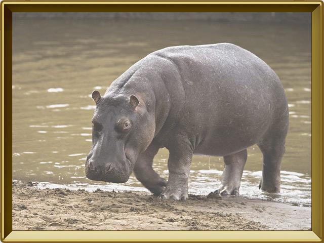 Бегемот — зверь, фото в рамке №2