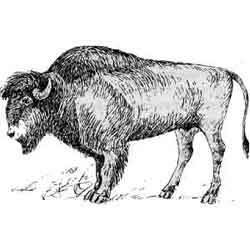 Бизон — зверь, картинка чёрно-белая