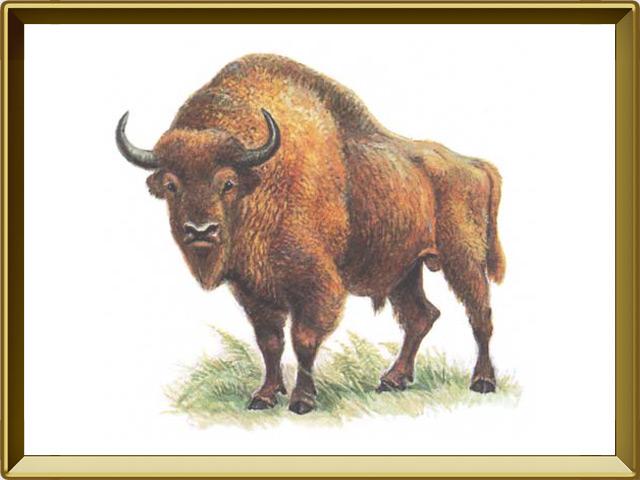 Бизон — зверь, фото в рамке №1