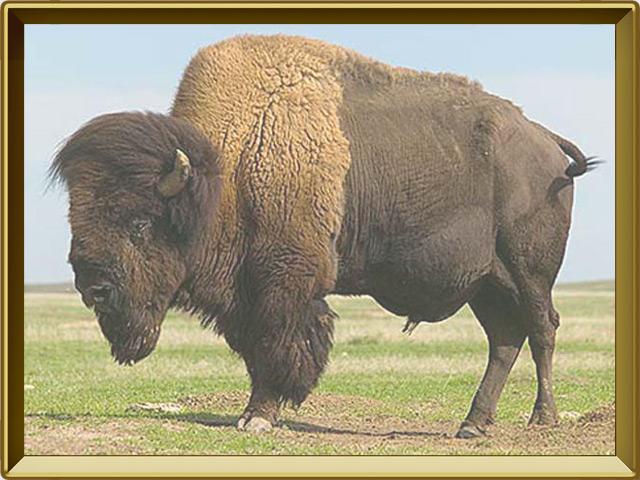 Бизон — зверь, фото в рамке №2