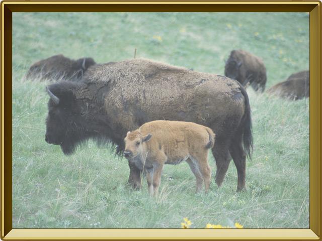 Бизон — зверь, фото в рамке №3
