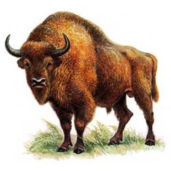 Бизон — зверь, картинка цветная