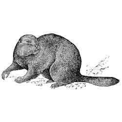 Бобр — зверь, картинка чёрно-белая