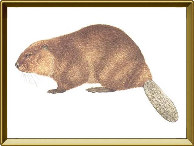 Бобр — зверь, фото в рамке №1