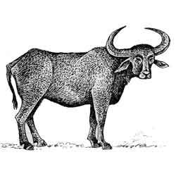 Буйвол — зверь, картинка чёрно-белая