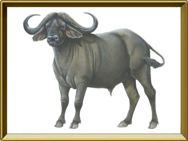 Буйвол — зверь, фото в рамке №1