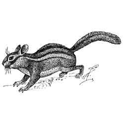 Бурундук — зверь, картинка чёрно-белая