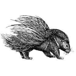 Дикобраз — зверь, картинка чёрно-белая