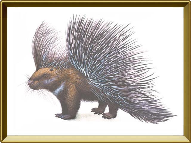 Дикобраз — зверь, фото в рамке №1