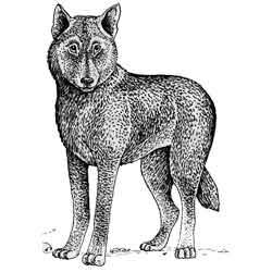 Динго — зверь, картинка чёрно-белая
