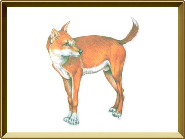 Динго — зверь, фото в рамке №1