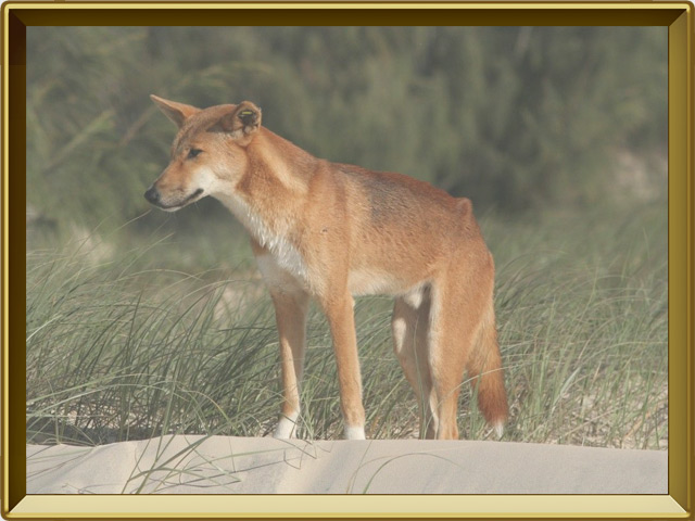 Динго — зверь, фото в рамке №2