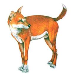 Динго — зверь, картинка цветная