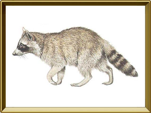 Енот — зверь, фото в рамке №1