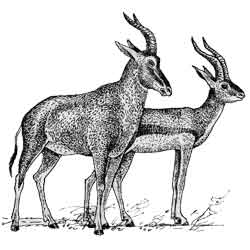 Газель — зверь, картинка чёрно-белая