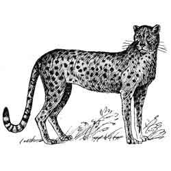 Гепард — зверь, картинка чёрно-белая