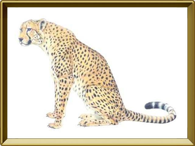 Гепард — зверь, фото в рамке №1