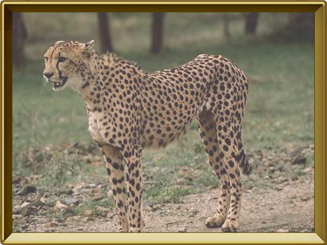 Гепард — зверь, фото в рамке №2